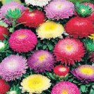USA SELLER Powder Puff Giant Asters 50 seeds