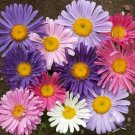USA SELLER Single Mixed Giant Asters 50 seeds