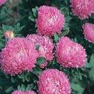 USA SELLER Dwarf Milady Rose Aster 15 seeds