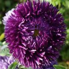 USA SELLER Tall Double Gremlin Dark Violet Aster 15 seeds