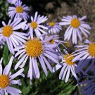 USA SELLER Wartburg Daisy Aster 15 seeds