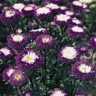 USA SELLER Tall Pompom Blue Aster 15 seeds