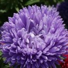 USA SELLER Tall Double Gremlin Lavender Blue) Aster 15 seeds