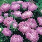 USA SELLER  Dwarf Milady Lilac Aster 15 seeds