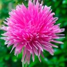 USA SELLER  Tall Needle Unicom Rose Aster 15 seeds