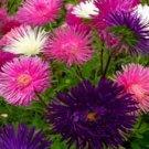 USA SELLER Tall Needle Unicom Mix Aster 15 seeds
