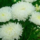 USA SELLER Tall Paeony Duchess White Aster 15 seeds