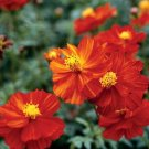 USA SELLER Cosmos Sulphureus Red 25 seeds