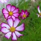 USA SELLER Cosmos Sensation Picotee 25 seeds