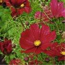 USA SELLER Cosmos Sensation Dazzler 25 seeds