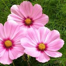 USA SELLERCosmos Bipinnatus Sensation Gloria 25 seeds