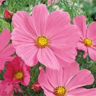 USA SELLER Cosmos Bipinnatus Sensation Pinkie 25 seeds
