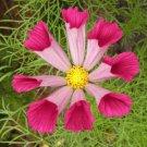 USA SELLER CosmosSeashells 25 seeds