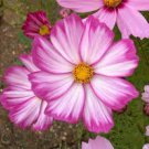 USA SELLER Cosmos 'Candystripe' 25 seeds