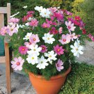 USA SELLER Cosmos 'Dwarf Sonata Mix' 25 seeds
