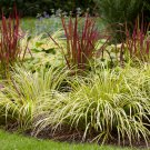 USA SELLER Sweet Flag Grass 10 seeds