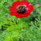 USA SELLER Pheasants Eye 10 seeds