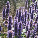 USA SELLER Giant Hyssop(Agastache Mexicana blue) 100 seeds