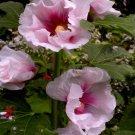 USA SELLER Pink Single Hollyhock 25 seeds