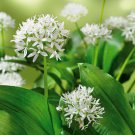 USA SELLER Wild Garlic 20 seeds