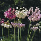 USA SELLER Nodding Onion Mix 20 seeds