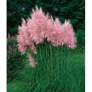 USA SELLER Pink Pampass Grass 20 seeds
