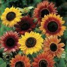 USA SELLER Autumn beauty Sunflower Mix 20 seeds