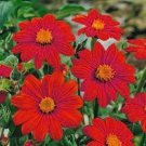 USA SELLER red Mexican Sunflower 20 seeds
