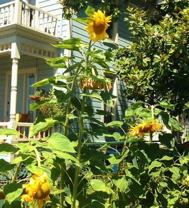 USA SELLER 12ft Tall Skyscraper Sunflower 20 seeds