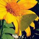 USA SELLER exican yellow Sunflower 20 seeds