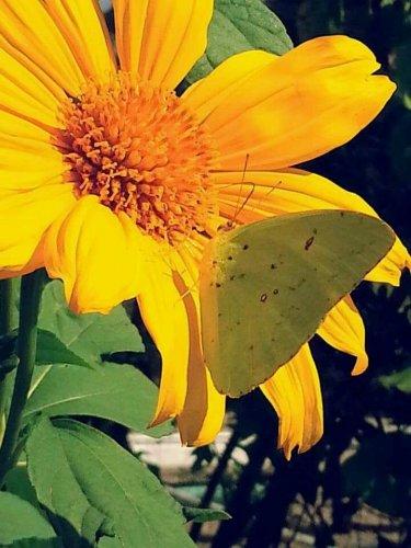 USA SELLER exican yellow Sunflower 20 seeds