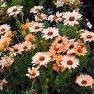 USA SELLER SalmonAfrican Daisy Mix 25 seeds