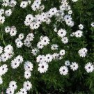 USA SELLER White African Daisy Mix 25 seeds