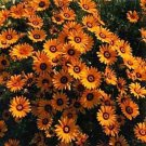 USA SELLER Orange African Daisy Mix 25 seeds