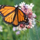 USA SELLER Common Milkweed 25 seeds