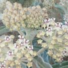 USA SELLER Fuzzy (Indian) Milkweed 25 seeds