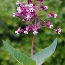USA SELLER Heartleaf Milkweed 25 seeds