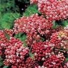USA SELLER Cinderella Milkweed 25 seeds