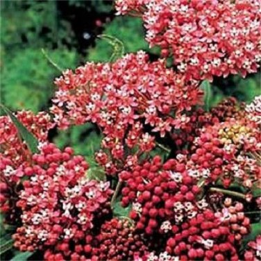 USA SELLER Cinderella Milkweed 25 seeds