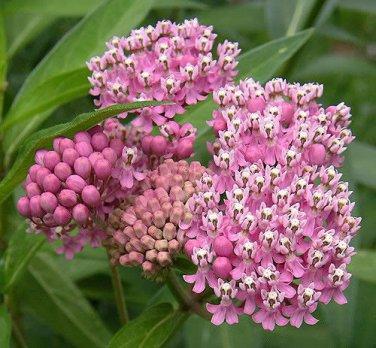 USA SELLER Swamp Milkweed 25 seeds