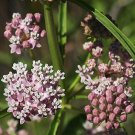 USA SELLER Narrow Leaf Milkweed 25 seeds