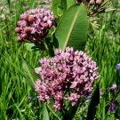 USA SELLER  Prairie Milkweed 25 seeds
