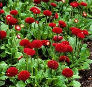 USA SELLER Red English Daisy 25 seeds