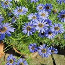 USA SELLER Swan River Daisy Blue (Brachyscome) 25 seeds