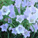 USA SELLER White Canterbury Bells 25 seeds