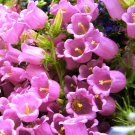 USA SELLER Pink Canterbury Bells 25 seeds