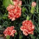 USA SELLER Avranchin Carnation 25 seeds