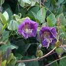 USA SELLER  Cup & Saucer Vine Purple 25 seeds