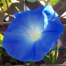 USA SELLER Heavenly Blue Morning Glory 100 seeds
