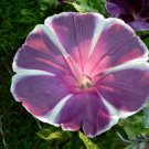 USA SELLER Plum Pie Morning Glory 10 seeds